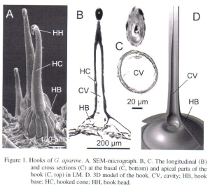 Figure 10 - a speciman hook from Gorb et al [2]