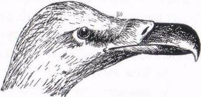Figure 17 ii Vulture