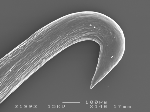 Figure 18 - SEM of burdock hook