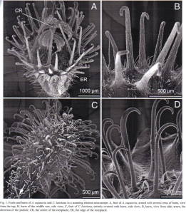 Figure 2 - SEM's of fruits and burrs