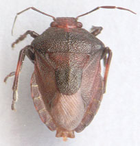 Figure 21 - Shield bug Palomena