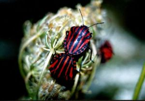 Figure 22 - Mating Shield bugs Graphosoma