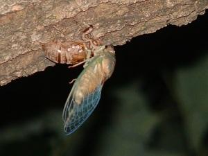 Figure 25 - Female ciccade T.pruinosa