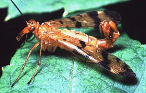 Figure 26 - Scorpion fly Mecoptera panorpidae