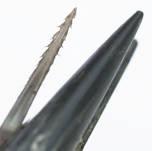 Figure 30 - Woodpecker tongue showing keratinised teeth