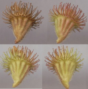Figure 35 - A.eupatoria