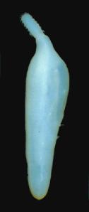 Figure 37 - Enchinorhynchus salmoides acanthocephalan worm