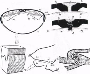 Figure 4 - Hydroporous ferrugineus (Nachtigall p16)
