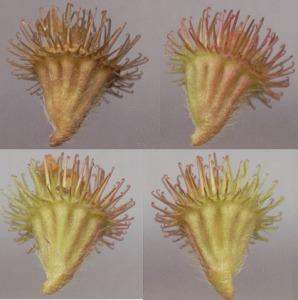 Figure 1 Agrimonia eupatoria [2]