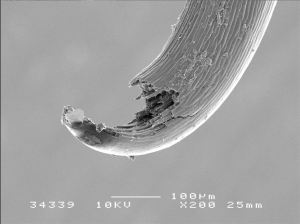Figure 2 (a) - An SEM of an A.minus hook reproduced from Part I and an SEM of  a fractured hook that appears later on in the results.